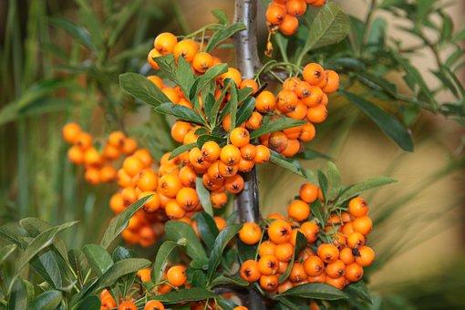 Fruit, Sea Buckthorn, Nature, Leaf, Tree, Plant