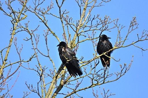 Crow, Bird, Animal, Corvus, Wildlife, Sitting, Plumage