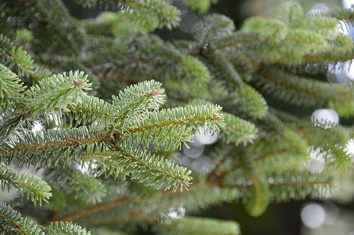 Winter, Pine, Needle, Tree, Christmas, Season, Branch
