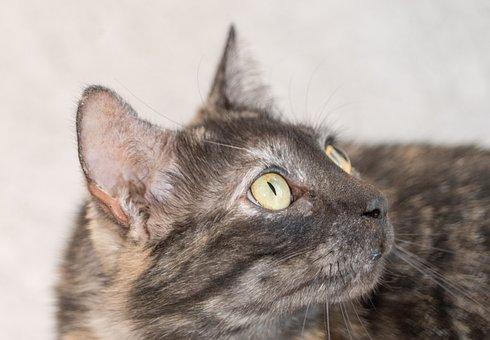 Cat Face, Tortie, Close Up, Animal, Cute, Mammal, Fur