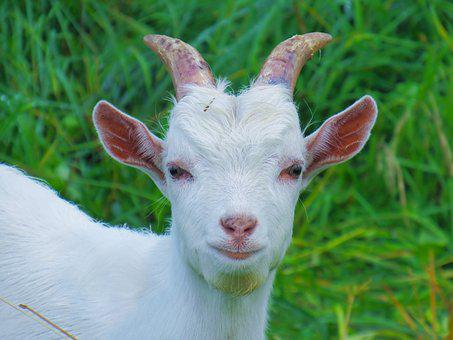 Farm, Cute, Portrait, Animals, Grass, Livestock, Goat