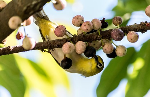 Tree, Nature, Fruit, Branch, Outdoors, Leaf, Bird