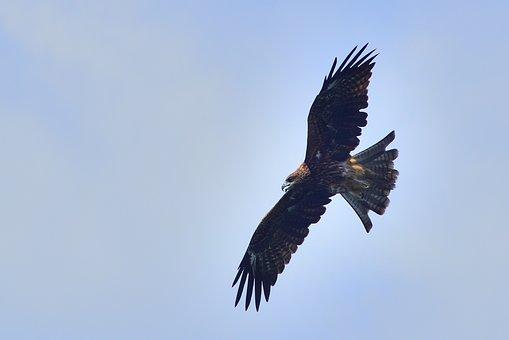 Bird, Wildlife, Bird Of Prey, Nature, Flight