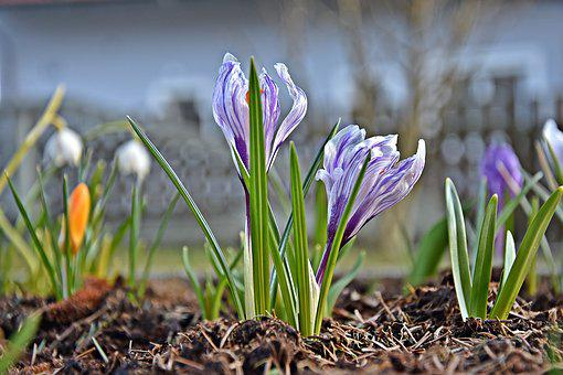Nature, Flower, Plant, Grass, Season, Crocus, Close
