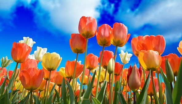 Tulips, Red, Macro, Vivid Color, Nature, Close-up