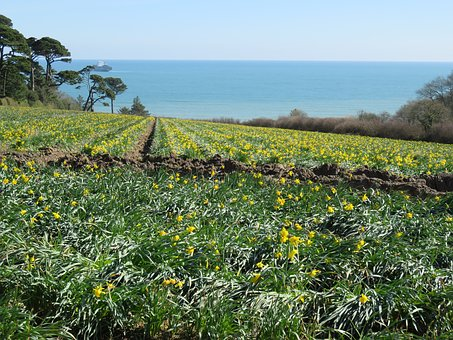 Coast, Osterglocken, Nature, Landscape, Agriculture
