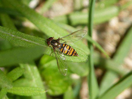 Hoverfly, False Bee, Insect, Nature, Animalia, Diptera