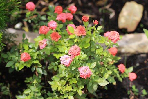 Roses, Hong Billion I, Flower, Love, Natural