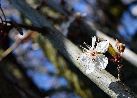 Tree, Outdoors, Nature, Flower, Branch, Alone, Sakura