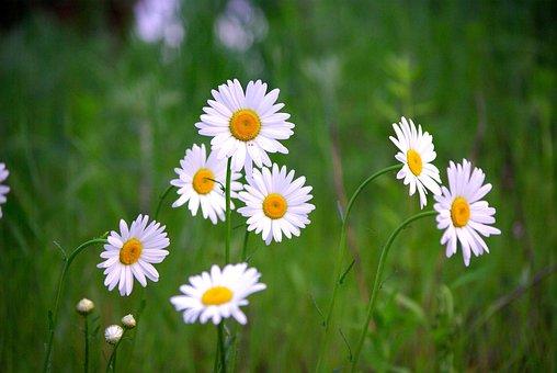 Flowers, Nature, Plants, Hayfields, Grass