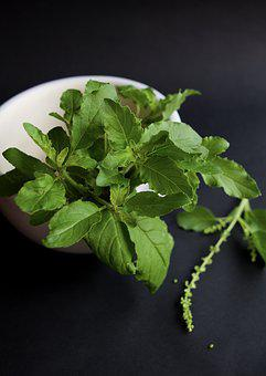 Thai, Holy Basil, Herb, Tulsi, Ayurveda, Plant, Herbal