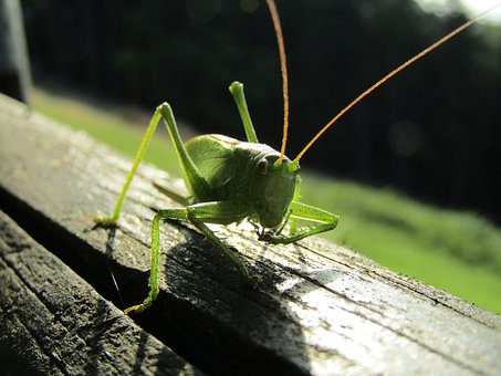 Insect, Nature, Grasshopper, Animal, Wildlife, Outdoors