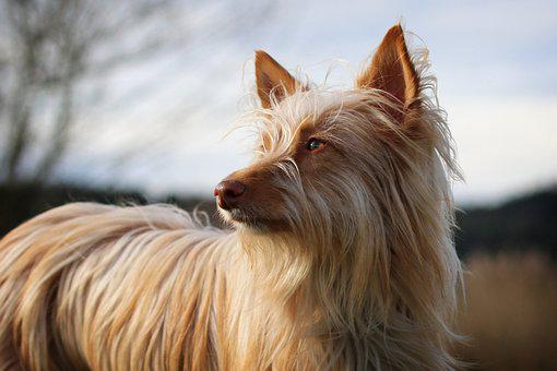 Podenco, Andaluz, Mediano, Long Haired, Dog