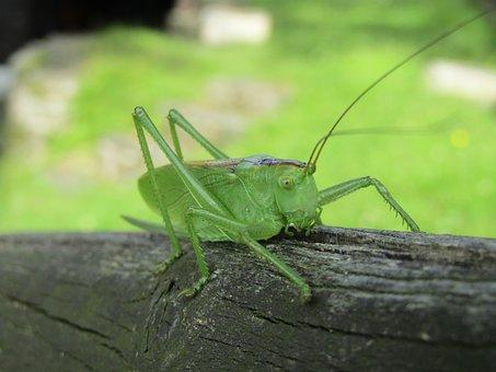 Insect, Nature, Grasshopper, Invertebrate, Wildlife