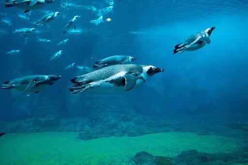 Penguin, Shipped, Ocean, Nature, Sea, Water, Blue, Bird