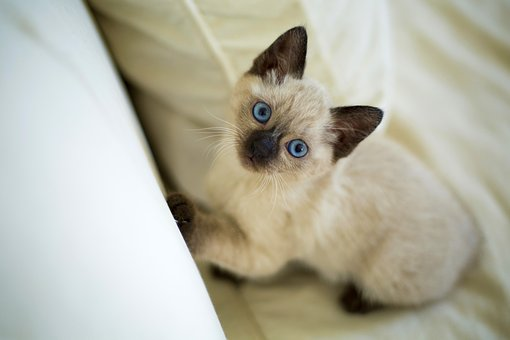 Cute, Pet, Home, Animals, Little, Cat, Thai Kitten