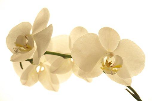 Flower, Nature, Petal, Tropical, Plant, Orchid, Botany