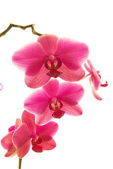 Flower, Nature, Petal, Tropical, Plant, Orchid, Botany