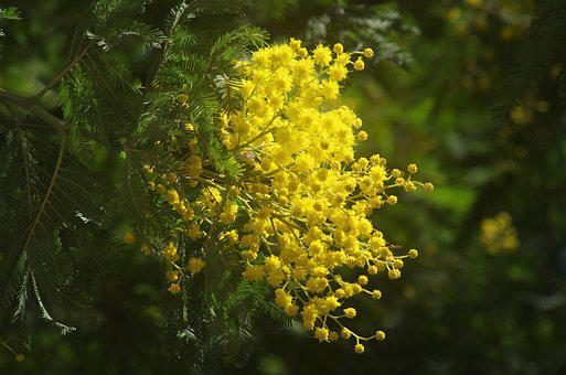Mimosa, Spring, Bloom, Yellow Flower