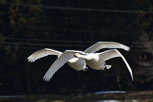 Animal, Bird, Wild Birds, Waterfowl, Fields, Swan