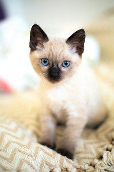 Cute, Animals, Little, Pet, Cat, Kitten, Thai, Siamese