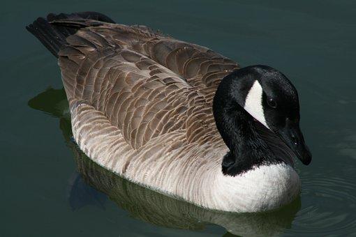 Bird, Wildlife, Nature, Water, Animal, Feather, Goose
