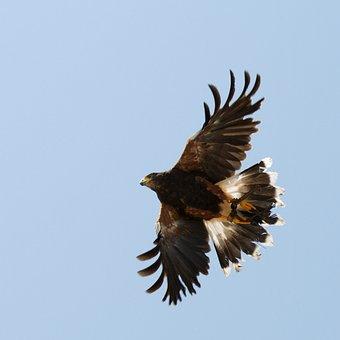 Falco, Sky, Freedom, Flight, Nature, Bird, Ali, Fly