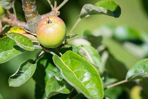 Apple, Apple Tree, Mature, Ripening Process, Nature