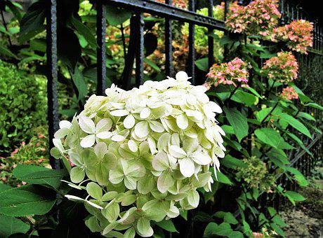 Hydrangea, White, Autumn, Autumn Flower, Genus