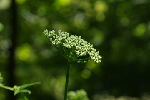 Giersch, Blossom, Bloom, Umbel, White, Geissfuss