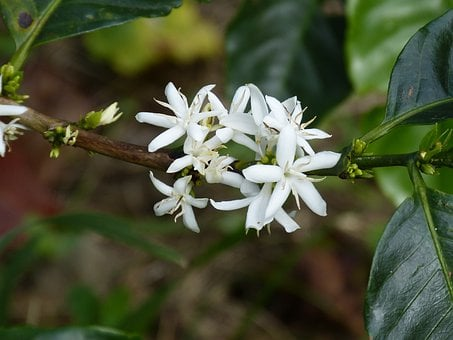 Coffee Flower, Coffee Shrub, Coffee, Blossom, Bloom