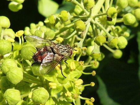 Fly, Nuisance, Botfly, Horsefly