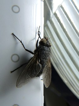 Fly Shaggy, Botfly, Nuisance, Macro, Scrub Legs