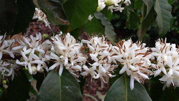 Flower, Coffee, Flor De Café, Flowers Of The Field
