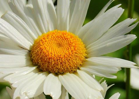 Daisy, Flower, Flowerhead, Yellow, White