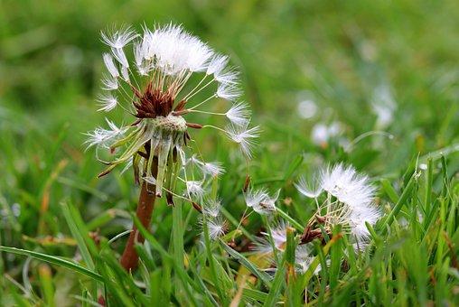 Dandelion, Flying Seeds, Seeds, Pointed Flower, Faded
