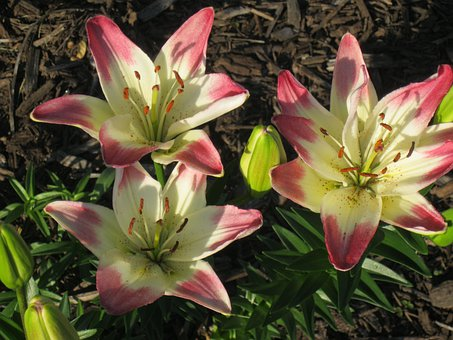 Lollypops, Daylily, Lilies, Blossom, Blooming, Pink