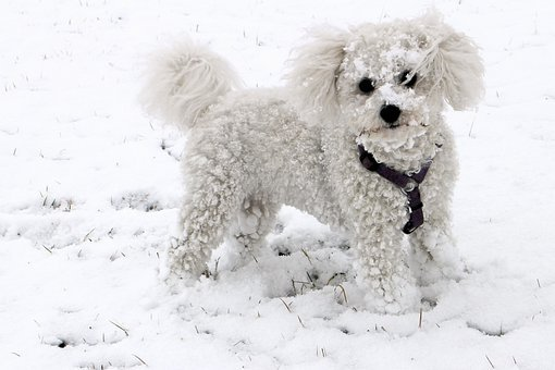 Animal, Dog, Snow, Winter, White, Bichon Frise