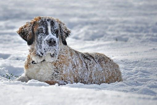 Snow, Dog, Dog In The Snow, St Bernard Dog In The Snow
