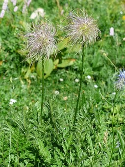 Alpine Anemone, Faded, Achene, Silver, Alpine Flower