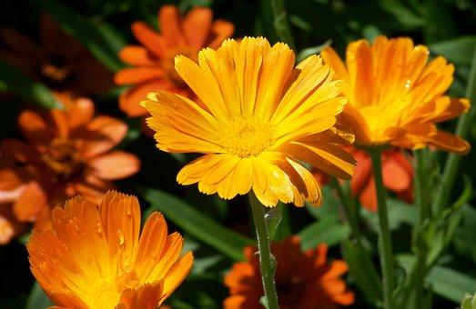 Daisy, Flowers, Summer, Orange, Nature, Floral, Blossom