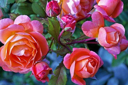 Roses, Garden Rose, Westerland, Shrub Rose, Flowers