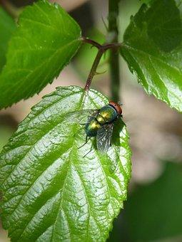 Greenfly, Fly Vironera, Calliphora Vicina, Botfly