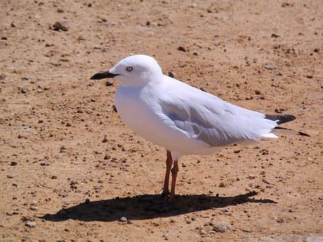 Seagul, Birds, Seagull, Flying, Animal, Sky, Wildlife