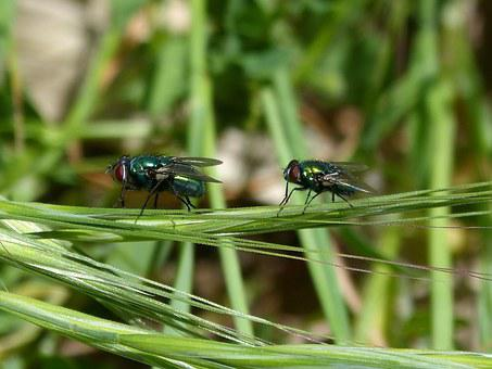Calliphora Vicina, Greenfly, Fly Vironera, Botfly