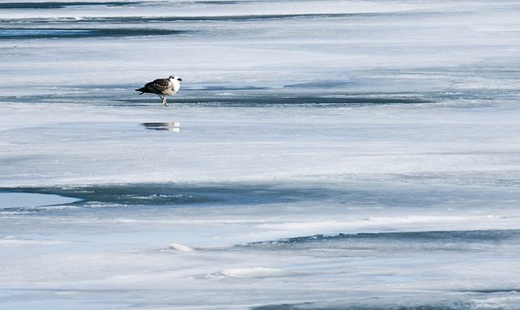 Nature, Ice, Seagull, Winter, Freeze, Lake, Chicago