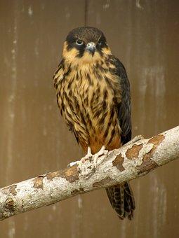 Hobby, Falco Subbuteo, Injured Bird, Bird Garden