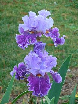 Iris, Bloom, Purple, White, Flower, Plant, Nature