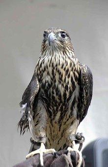 Columbarius, Bird, Head, Falco, Merlin, Falcons, Hawks