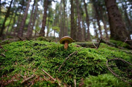 Mushroom, Forest, Moss, Tube Mushroom, Glade, Nature